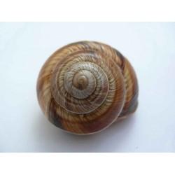 Molluschi di Terra